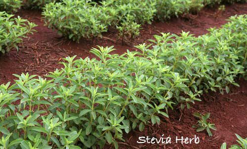 stevia-herb